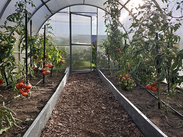 томаты в теплицы выращивание
